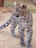 Jeune regard de léopard Photographie stock