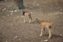 Jeune regard de mouflon Images libres de droits