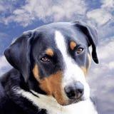 Jeune regard en gros plan de playfull de Sennenhund dans les yeux photo stock