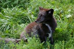 Jeune renard arctique Photographie stock libre de droits