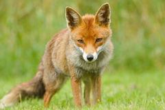 Jeune renard rouge Images stock