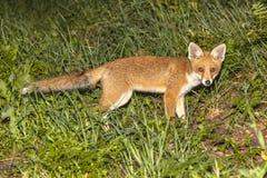 Jeune renard rouge Photographie stock libre de droits