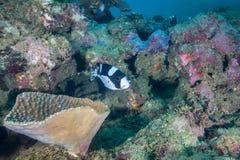 Jeune repéré de Sweetlips - récif des Fidji Image libre de droits
