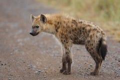 Jeune repéré d'hyène Photo libre de droits