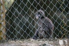 Jeune ressembler sombre de Langur au singe se reposant dans la cage photographie stock libre de droits