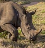Jeune rhinocéros Photos libres de droits