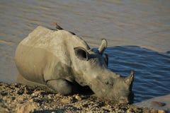 Jeune rhinocéros blanc avec des compagnons Images libres de droits