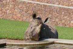 Jeune rhinocéros de sourire buvant et suçant l'eau d'une fontaine Photos libres de droits