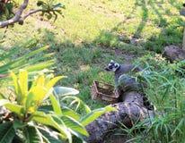 Jeune Ring Tailed Lemur mangeant hors d'un panier Photo stock