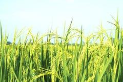 Jeune riz de jasmin dans le domaine Photos libres de droits