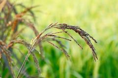 Jeune riz noir Photo stock