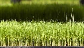 Jeune riz ou plante de riz Image libre de droits