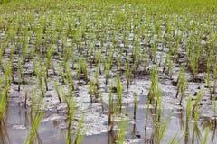 Jeune rizière dans l'agriculture pour la Thaïlande image libre de droits