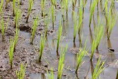 Jeune rizière dans l'agriculture pour la Thaïlande photos libres de droits