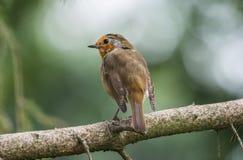 Jeune Robin Photo libre de droits