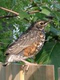 Jeune Robin Photos libres de droits