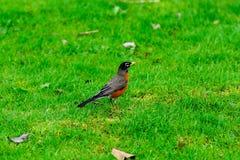 Jeune Robin dans l'herbe Photos stock