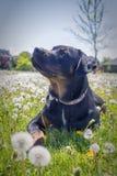 Jeune rottweiler se reposant sur le champ d'herbe Image stock