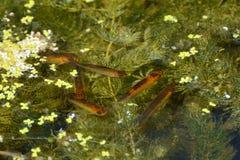Jeune rudd d'or dans l'étang Photographie stock