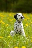 Jeune séance dalmatienne entre les fleurs de pissenlit Images stock