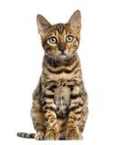Jeune séance de chat du Bengale (5 mois), d'isolement photographie stock