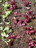 Jeune salade s'élevant sur un champ photos libres de droits