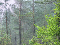 Jeune sapin dans la forêt brumeuse de pin Photos stock