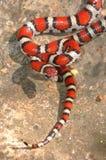 Jeune serpent de lait rouge Photographie stock libre de droits