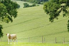 Jeune seule vache dans un domaine d'été Codicote, Hertfordshire Campagne photo libre de droits