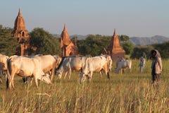 Jeune sheperd dans la campagne de Bagan avec des pagodas Image stock