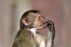 Jeune singe Photo stock