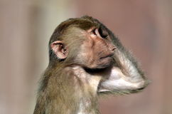 Jeune singe Photos libres de droits