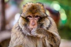 Jeune singe de Barbarie masculine, sylvanus de Macaca, Maroc Photographie stock