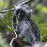 Jeune singe de Colobus rouge, Zanzibar images stock