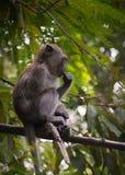 Jeune singe de macaque Long-coupé la queue se reposant sur la branche d'arbre, prise sur l'île de Langkawi, la Malaisie photos libres de droits