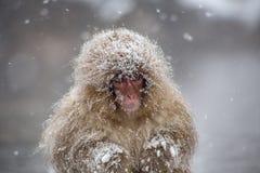 Jeune singe froid de neige dans une tempête de neige photo stock