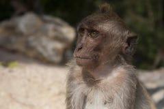 Jeune singe rhésus Photographie stock libre de droits