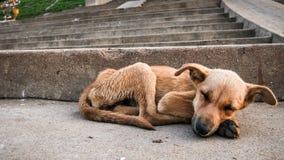 Jeune sommeil de chien égaré Images stock