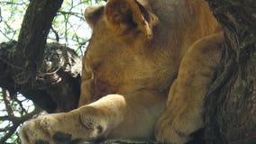 Jeune sommeil de lion banque de vidéos
