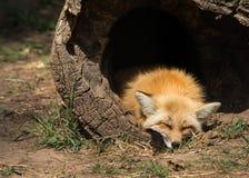 Jeune sommeil de renard images stock