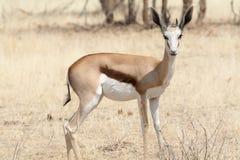 Jeune springbok, portrait Images stock