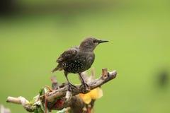 Jeune starling. photo stock