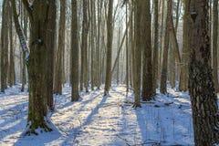 Jeune support d'arbre de charme en hiver Photographie stock