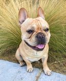 Jeune Tan French Bulldog Portrait Photo stock