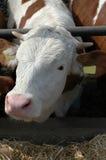 Jeune taureau à la ferme Image libre de droits