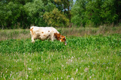 Jeune taureau Images libres de droits