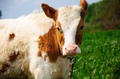 Jeune taureau Photographie stock libre de droits