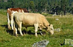 Jeune taureau Photographie stock