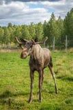 Jeune taureau d'orignaux Images stock