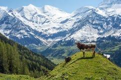 Jeune taureau dans les Alpes Photographie stock
